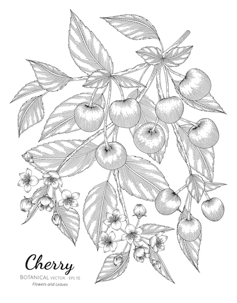 Cherry fruit hand drawn botanical illustration with line art on white backgrounds. Premium Vector