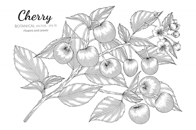 Cherry fruit hand drawn botanical illustration with line art on white Premium Vector