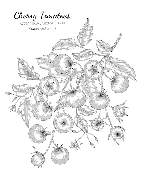 Cherry tomato hand drawn botanical illustration with line art on white backgrounds. Premium Vector
