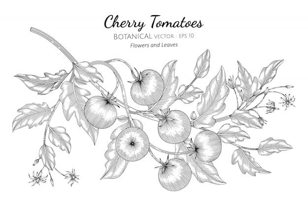 Cherry tomato hand drawn botanical illustration with line art on white Premium Vector