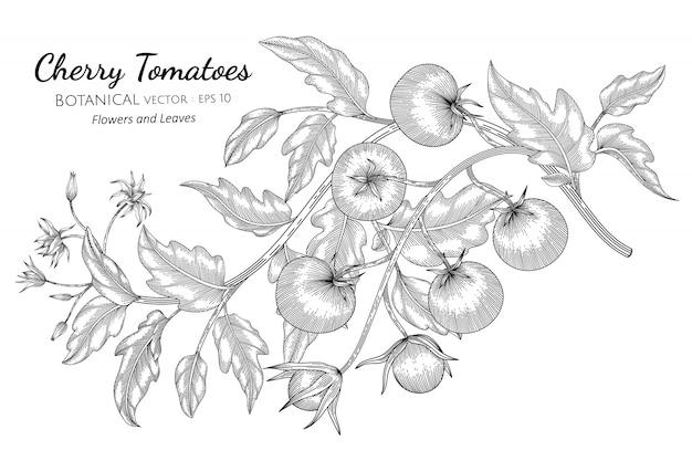 Cherry tomato hand drawn botanical illustration with line art Premium Vector