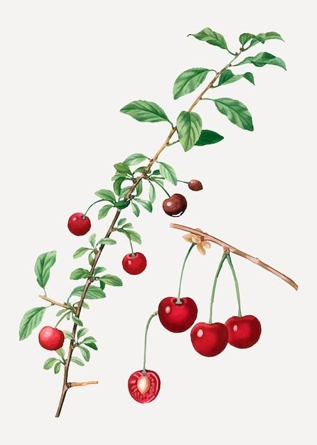 Cherry tree branch Free Vector