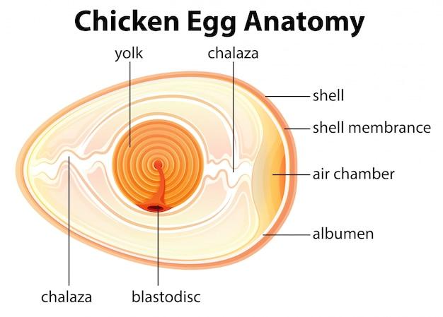Chicken egg anatomy Premium Vector