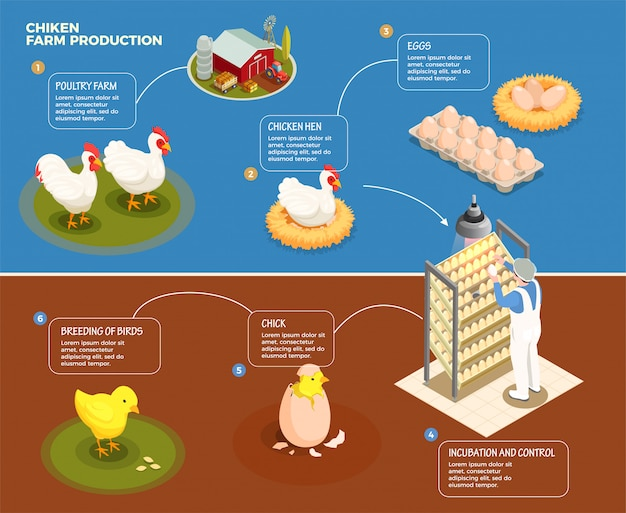 Chicken production step by step scheme from poultry farm to incubation control and breeding of chick isometric illustration Free Vector