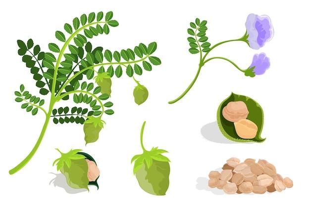 Fagioli e pianta di ceci illustrati Vettore gratuito