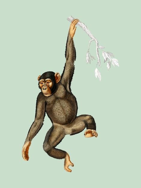 Шимпанзе (troglodyte chimpanze), иллюстрированный чарльзом дессалином д'орбиньи (1806-1876). Бесплатные векторы