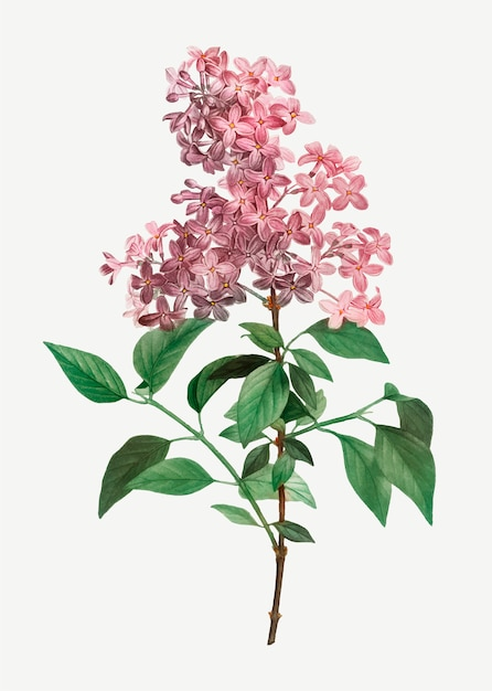 Chinese lilac Free Vector