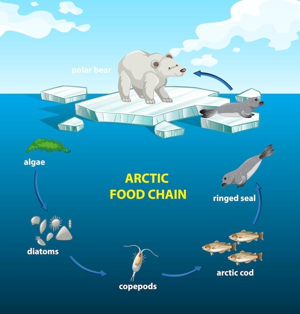 Circolo della catena alimentare artica Vettore gratuito