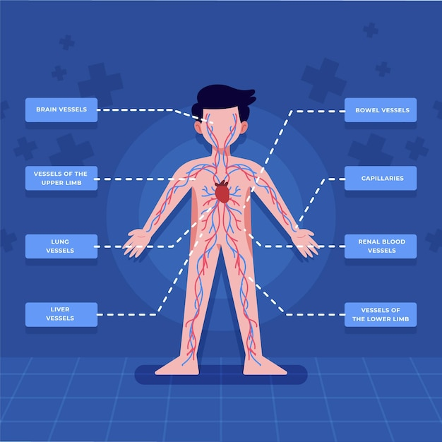 Circulatory system infographic in flat design Free Vector