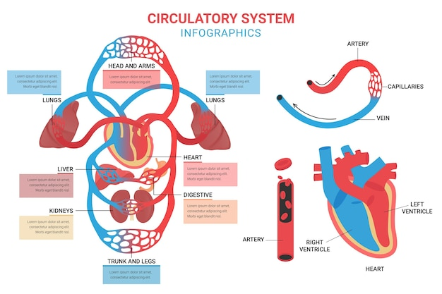 Circulatory system infographic template in flat design Free Vector