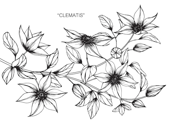Clematis flower drawing illustration vector premium download clematis flower drawing illustration premium vector thecheapjerseys Choice Image