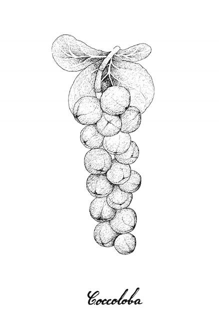 Coccoloba uviferaまたはseagrape fruitの手描き Premiumベクター