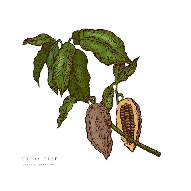 Иллюстрация какао-бобов. гравировка стиль иллюстрации. шоколадные бобы какао. иллюстрация Premium векторы