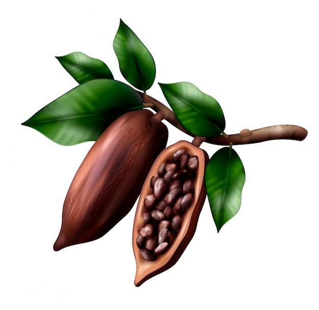 La composizione realistica nel ramo di cacao con l'immagine dei frutti del cacao sull'arto con le foglie ed i fagioli Vettore gratuito