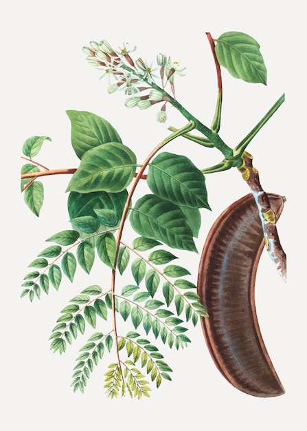 Coffee bean tree Free Vector