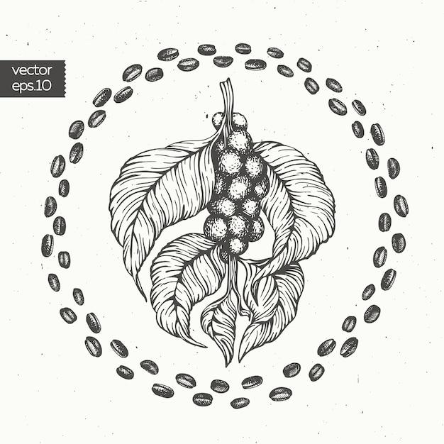 Coffee beans vector illustration. Premium Vector