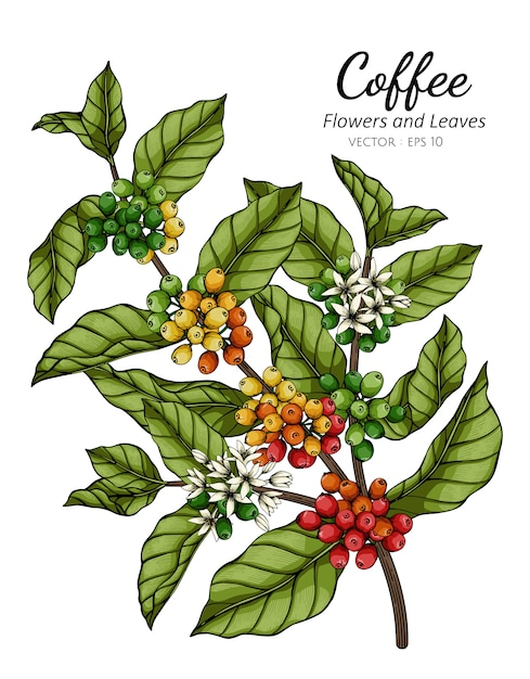 Coffee flower and leaf drawing illustration with line art on white backgrounds. Premium Vector