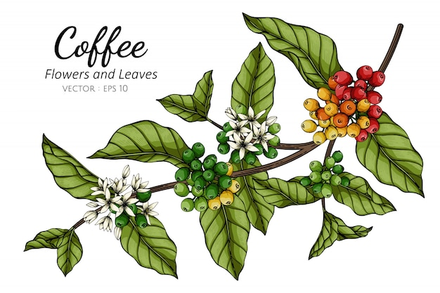 Coffee flower and leaf drawing illustration with line art on white Premium Vector