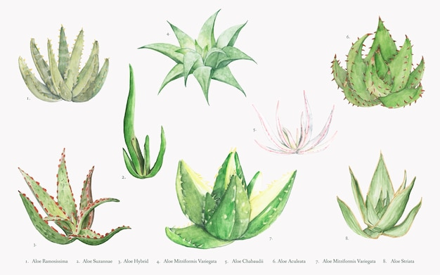 Collection of hand drawn aloe plants Free Vector