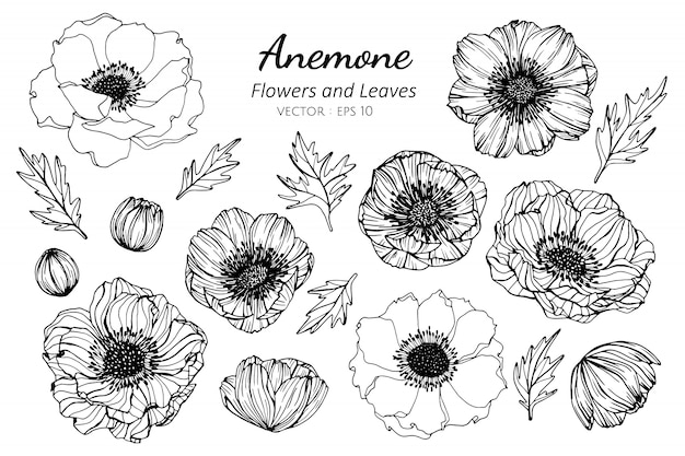 Collection set of anemone flower and leaves drawing illustration. Premium Vector