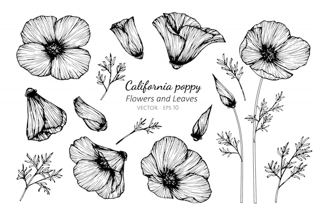 Collection set of california poppy flower and leaves drawing illustration. Premium Vector