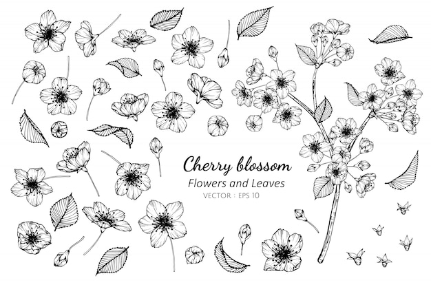 Collection set of cherry blossom flower and leaves drawing illustration. Premium Vector