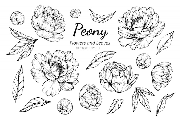 Collection set of peony flower and leaves drawing illustration. Premium Vector