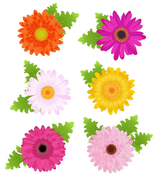 Colorful daisies (orange, pink, magenta, yellow) with leaves,  on white Premium Vector