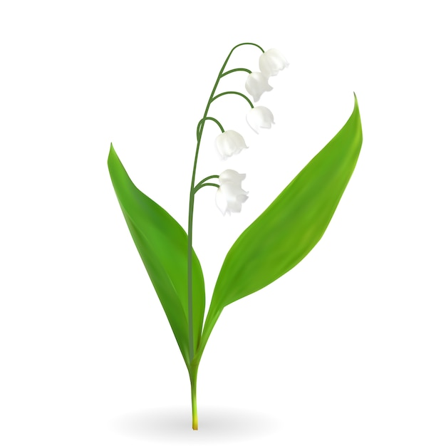 Colorful naturalistic blooming lily of the valley isolated Premium Vector