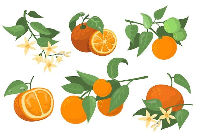 Set di elementi piatti colorati di rami e fiori arancioni. cartoon disegno arancione, mandarino e mandarino isolato raccolta illustrazione vettoriale. agrumi e concetto di albero Vettore gratuito