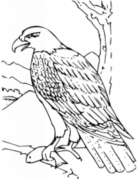 Coloring Book Bald Eagle Free Vector