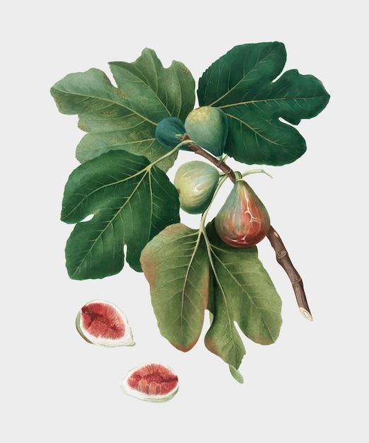 Общий рисунок из иллюстрации pomona italiana Бесплатные векторы