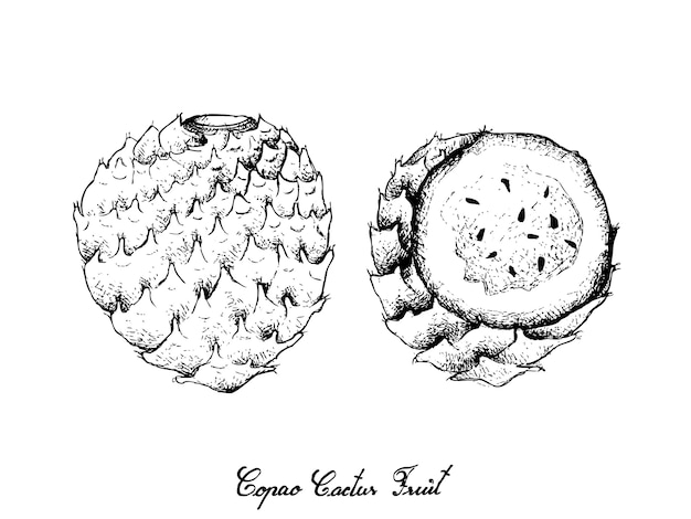 Ручной обращается copao кактус фрукты на белом фоне Premium векторы