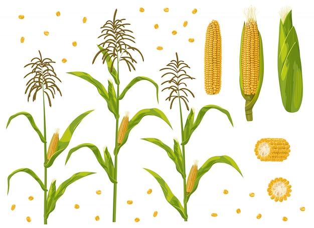 Corn cob, grain and maize plant set Premium Vector