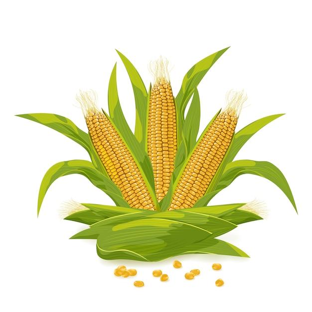 Corn cob and grain Premium Vector