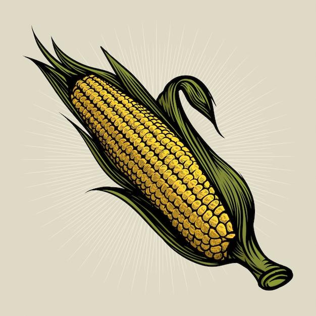 Corn on the cob vintage engraved illustration. botanical corn. vector illustration Premium Vector