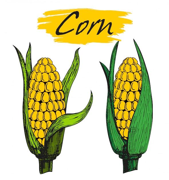 Corn cob with leaves Premium Vector