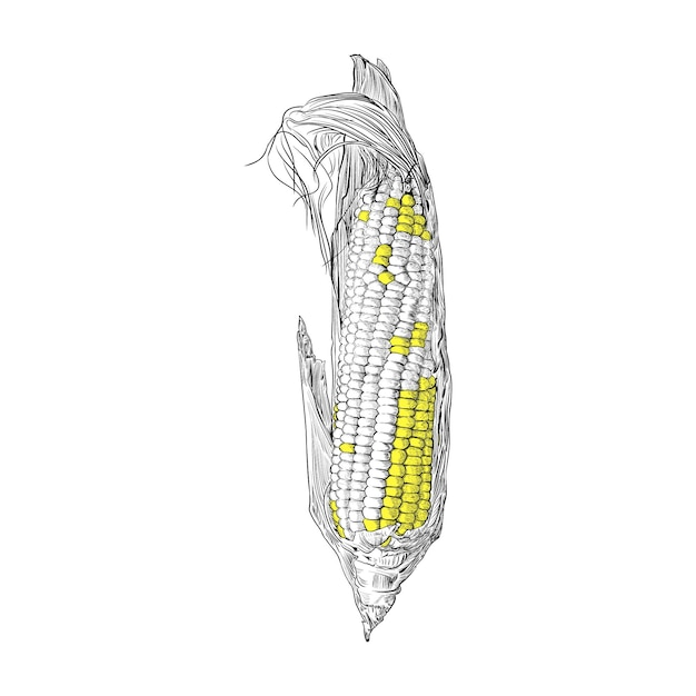 Corn hand drawing vintage engraving illustration Premium Vector