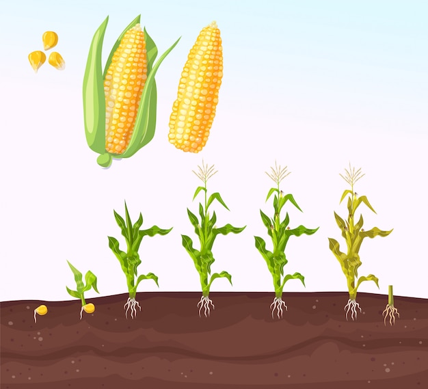 Corn planting. planting process. growing stages. seedling plant. seeds grow on the ground. Premium Vector