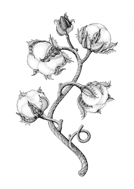 Cotton Plant Hand Drawing Vintage Engraving Style Isotale On White