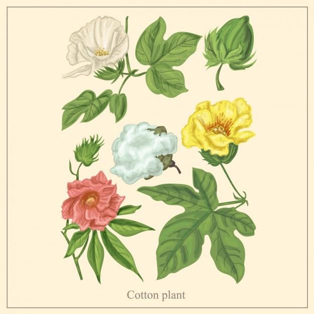 Cotton plant illustration Free Vector
