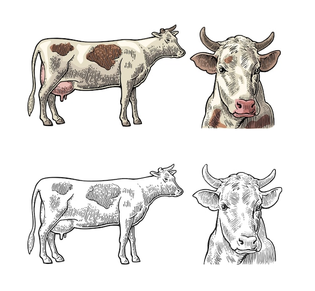 Cow. side and front view. vintage  engraving Premium Vector