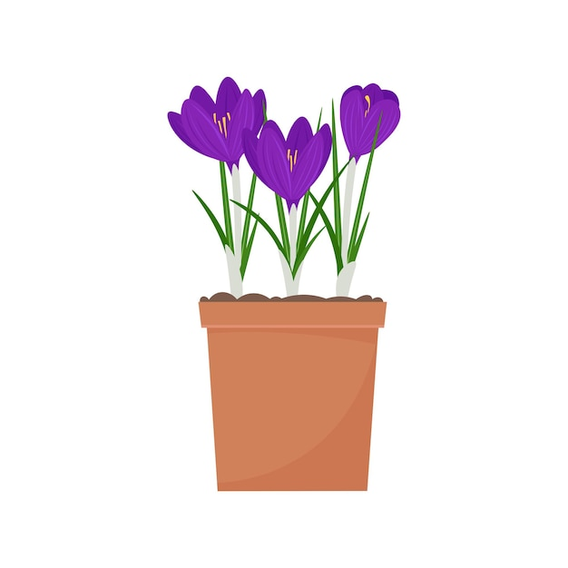 Crocus in a pot. spring flowers vector illustration, isolated on white background Premium Vector