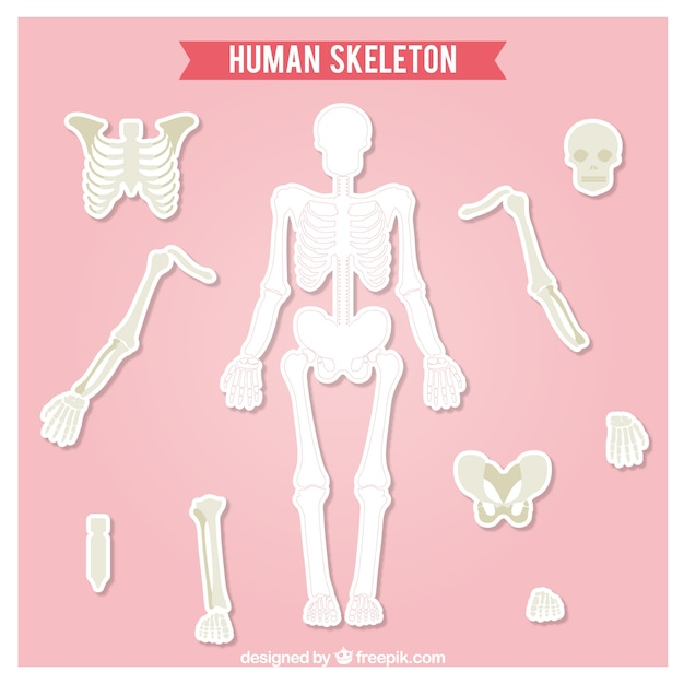 cut out human skeleton vector | free download, Skeleton