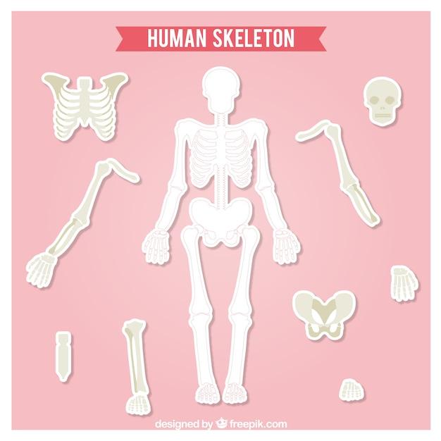 cut out human skeleton vector   free download, Skeleton