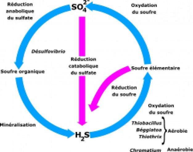 cycle du soufre vector