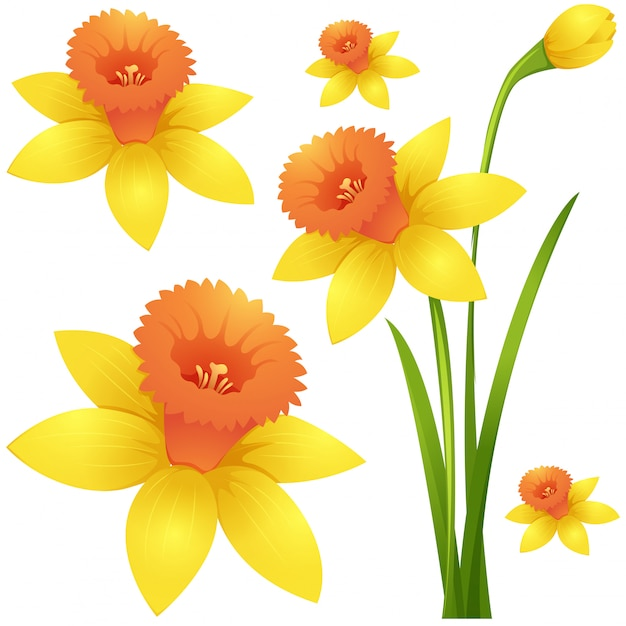Daffodil flower in yellow color Free Vector