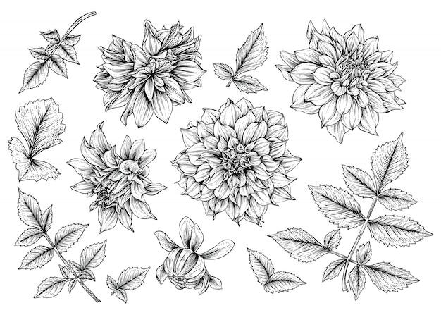 Dahlia leaf and flower drawings Premium Vector