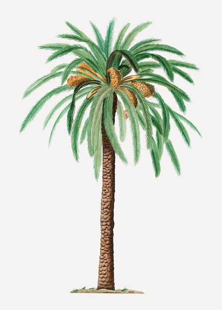 Date palm tree Free Vector