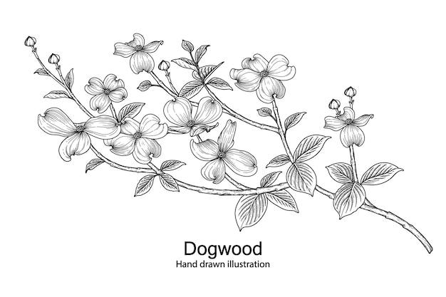 Ddogwood flower drawings. Free Vector